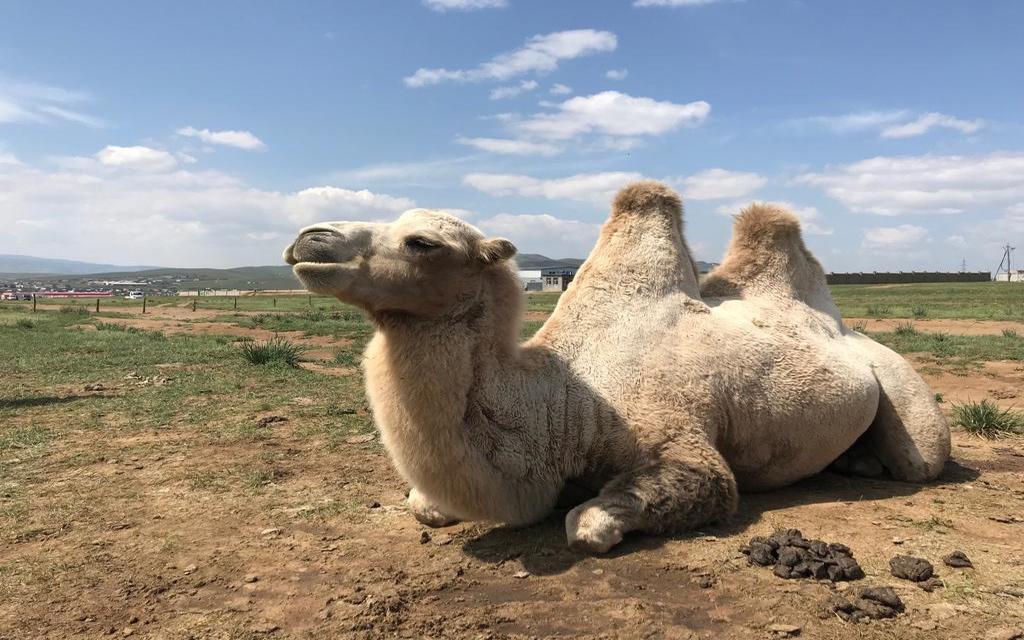 Kamel auf der mongolischen Steppe